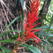 Pitcairnia - Photo (c) deboas, μερικά δικαιώματα διατηρούνται (CC BY)