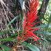 Pitcairnia - Photo (c) deboas, osa oikeuksista pidätetään (CC BY)