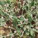 Eriogonum vestitum - Photo (c) Gena Bentall, algunos derechos reservados (CC BY-NC)