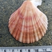 Spiny Scallop - Photo (c) M. Goff, some rights reserved (CC BY-NC-SA)