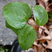 Roundleaf Greenbrier - Photo (c) Suzanne Dingwell, some rights reserved (CC BY-NC)