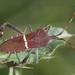Leptoglossus phyllopus - Photo (c) John Flannery,  זכויות יוצרים חלקיות (CC BY-ND)