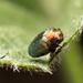 Trachys troglodytiformis - Photo (c) Martin Galli,  זכויות יוצרים חלקיות (CC BY-NC)