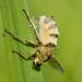Entomophthora - Photo (c) bathyporeia, some rights reserved (CC BY-NC-SA)