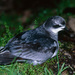 Mottled Petrel - Photo (c) StormPetrel1, some rights reserved (CC BY-NC)