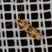 Bucculatricidae - Photo (c) raedwulf68, μερικά δικαιώματα διατηρούνται (CC BY-NC)