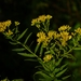 Flat-topped Goldenrod - Photo (c) Dendroica cerulea, some rights reserved (CC BY), uploaded by John Beetham