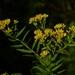 Euthamia graminifolia - Photo (c) Dendroica cerulea, algunos derechos reservados (CC BY), uploaded by John Beetham