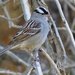 Mountain White-crowned Sparrow - Photo (c) Nature Ali, some rights reserved (CC BY-NC-ND)