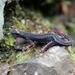 Salamandrina perspicillata - Photo (c) cardisomacarnifex, alguns direitos reservados (CC BY-NC), uploaded by Andrea Vannini