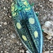 Austrophorella quadrisignata - Photo (c) mwoels, some rights reserved (CC BY-NC)