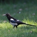 Black-billed Magpie - Photo (c) mhoebel, some rights reserved (CC BY-NC)