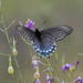 Mariposas Cola de Golondrina Azul de California - Photo (c) king2d3d, algunos derechos reservados (CC BY-NC)