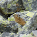 Alpine Pika - Photo (c) Sergey Yeliseev, some rights reserved (CC BY-NC-ND)