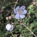 Bauera rubioides - Photo (c) ngaruru, algunos derechos reservados (CC BY-NC)
