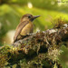 Smoky-brown Woodpecker - Photo (c) Michael Woodruff, some rights reserved (CC BY-SA)