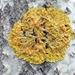 Sunburst Lichens - Photo (c) Pekka Rahko, some rights reserved (CC BY-NC)