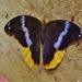 Catoblepia orgetorix orgetorix - Photo (c) Eric van den Berghe, μερικά δικαιώματα διατηρούνται (CC BY-NC)