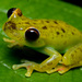 Canal Zone Tree Frog - Photo (c) Geoff Gallice, some rights reserved (CC BY)