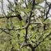 Ziziphus obtusifolia obtusifolia - Photo (c) Jeremy V. Jordan, some rights reserved (CC BY-ND)