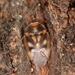 Isometopus anlasi - Photo (c) Barış Çerçi, algunos derechos reservados (CC BY-NC)