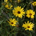 California Brittlebush - Photo (c) James Bailey, some rights reserved (CC BY-NC)