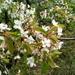 Wild Cherry - Photo (c) igor_olshanskyi, some rights reserved (CC BY-NC)