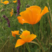 Tufted Poppy - Photo (c) Damon Tighe, some rights reserved (CC BY-NC)
