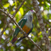 Palau Fruit-Dove - Photo (c) Mark Rosenstein, some rights reserved (CC BY-NC-SA)