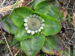 Eryngium humile - Photo (c) Jason Grant, algunos derechos reservados (CC BY)