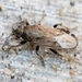 Heterogaster artemisiae - Photo (c) Marie Lou Legrand, some rights reserved (CC BY-NC)