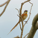 Chotoy Spinetail - Photo (c) Cláudio Dias Timm, some rights reserved (CC BY-NC-SA)