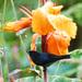 Diglossa plumbea - Photo (c) Jerry Oldenettel,  זכויות יוצרים חלקיות (CC BY-NC-SA)