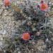 Graham's Pricklypear - Photo (c) Richard Reynolds, some rights reserved (CC BY-NC)