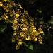 Oncidium sphacelatum - Photo (c) Victor De la Cruz,  זכויות יוצרים חלקיות (CC BY)