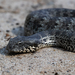 Death Adders - Photo (c) Ákos Lumnitzer, some rights reserved (CC BY-NC)