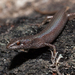 Southern Weasel Skink - Photo (c) Ákos Lumnitzer, some rights reserved (CC BY-NC)