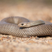 Eastern Brown Snake - Photo (c) Ákos Lumnitzer, some rights reserved (CC BY-NC)