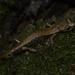 Italian Cave Salamander - Photo (c) Mattia Menchetti, some rights reserved (CC BY)