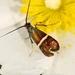 Adela australis - Photo (c) bscrl,  זכויות יוצרים חלקיות (CC BY-NC)