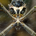 Argiope blanda - Photo (c) Meghan Cassidy, some rights reserved (CC BY-SA)