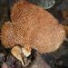 Echinochaete maximipora - Photo (c) Matt Barrett, some rights reserved (CC BY-NC)