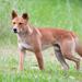 Dingo - Photo (c) Ákos Lumnitzer, osa oikeuksista pidätetään (CC BY-NC)