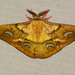 Copaxa sapatoza - Photo (c) Steve King, algunos derechos reservados (CC BY-NC)