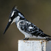 Pied Kingfisher - Photo (c) bathyporeia, some rights reserved (CC BY-NC-SA)