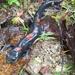 Falsa Salamandra de Rio de Sonora - Photo (c) Alejandro, algunos derechos reservados (CC BY-NC)