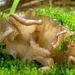 Arrhenia - Photo (c) *2008-08-03_Arrhenia_lobata_(Pers.)_Kühner_&_Lamoure_ex_Redhead_16371.jpg: MushroomObserverUser|1=498|2=rob hallock (mycorob). *derivative work: Ak ccm, some rights reserved (CC BY-SA)