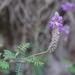 Dalea cylindrica - Photo (c) Edgar Heim, μερικά δικαιώματα διατηρούνται (CC BY-NC)