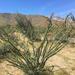 Fouquieria splendens - Photo (c) Remington Jackson,  זכויות יוצרים חלקיות (CC BY-NC)