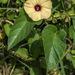 Hewittia malabarica - Photo (c) Josef Stulz, osa oikeuksista pidätetään (CC BY-NC)